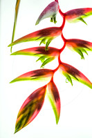 Heliconia chartacea